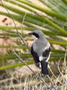 Loggerhead Shrike, Joshua Tree NP (3)