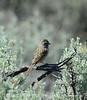 Brewer's Sparrow, Mojave Natl Preserve CA (3)