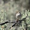 Brewer's Sparrow, Mojave Natl Preserve CA (4)