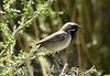 Black-throated sparrow, MOJA, CA (2)
