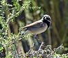 Black-throated sparrow, MOJA, CA (1)