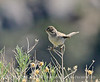 Brewer's Sparrow, Mojave Natl Preserve CA (1)