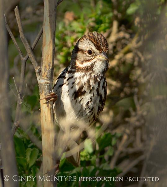 Song sparrow, CA coast