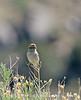 Brewer's Sparrow, Mojave Natl Preserve CA (2)