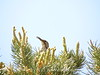 California thrasher male, Joshua Tree NP (2)