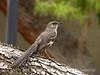 Northern Mockingbird, Las Vegas NV (2)