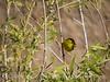 Wilson's warbler male, Joshua Tree NP (4)