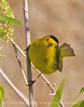 Wilson's warbler male, Joshua Tree NP (5)