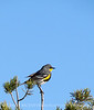 Audubon's warbler male, Mojave Natl Preserve CA (1)