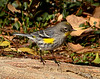 Audubon's Warbler winter, Victorville CA (2)