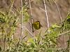 Wilson's warbler male, Joshua Tree NP (3)