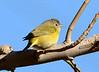 Nashville Warbler, Victorville CA (1)