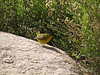 Wilson's warbler male, Joshua Tree NP CA