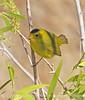 Wilson's warbler male, Joshua Tree NP (7)