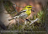Townsend's Warbler male, Red Rocks Canyon NV (1)