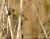 Orange-crowned warbler, Victorville, CA (1)