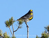 Audubon's warbler male, Mojave Natl Preserve CA (2)