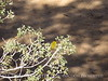 Wilson's warbler male, Joshua Tree NP (2)