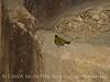 Wilson's warbler male, Joshua Tree NP (1)