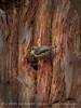 Pygmy nuthatch at nest, Big Bear Lake CA (1)