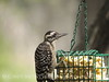 Ladder-backed woodpecker, S Calif (2)