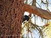 Acorn woodpecker at granary tree, Big Bear CA (18)