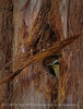 Pygmy nuthatch at nest, Big Bear Lake CA (2)