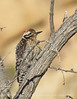 Ladderback woodpecker, Joshua Tree NP (2)