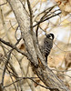 Nuttall's Woodpecker female, S Calif (1)