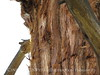 Pygmy nuthatch baby at nest, Big Bear Lake CA