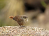 Canyon Wren fledgling, Joshua Tree NP CA (10)