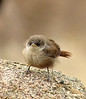 Canyon Wren fledgling, Joshua Tree NP CA (2)
