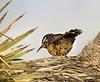 Cactus Wren, Joshua Tree NP CA
