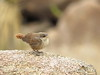 Canyon Wren fledgling, Joshua Tree NP CA (14)