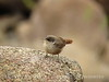 Canyon Wren fledgling, Joshua Tree NP CA (4)