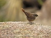 Canyon Wren fledgling, Joshua Tree NP CA (12)