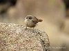 Canyon Wren fledgling, Joshua Tree NP CA (3)