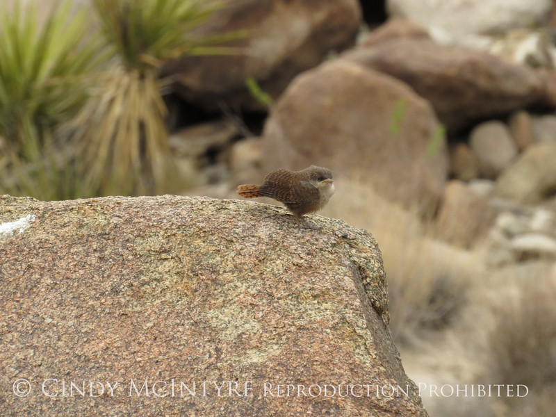 Canyon Wren fledgling, Joshua Tree NP CA (1)
