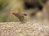 Canyon Wren fledgling, Joshua Tree NP CA (11)