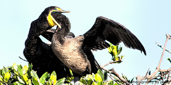 ANHINGAS and CORMORANTS
