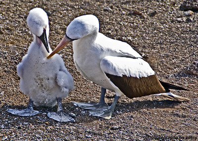MASKED BOOBIES - MOM and BABY GALAPAGOS ISLANDS