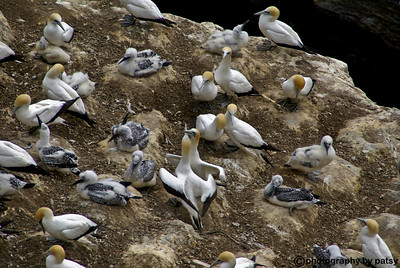When GANNETS return to their nesting site, they hug and kiss their mate North of Auckland, NZ