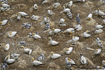 GANNET COLONY North of Auckland, NZ