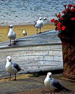 Australian gulls - Watson's Bay