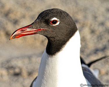 PORTRAIT of a LAUGHING GULL