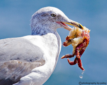 GULL with CRAB he stole it from a sea otter SANTA CRUZ    AUGUST 2011