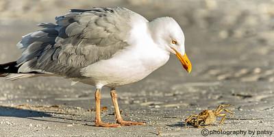 herring gull eying a crab