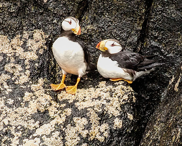 PUFFINS and MURRES