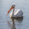 """Hungry American White Pelican missed out on a """"free lunch"""" when he failed to steal an armor-plated catfish from the great cormorant."""