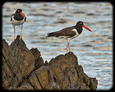 OYSTER CATCHER
